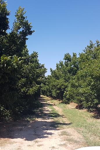 Protecting Pecan Grove's Drip Irrigation, Israel